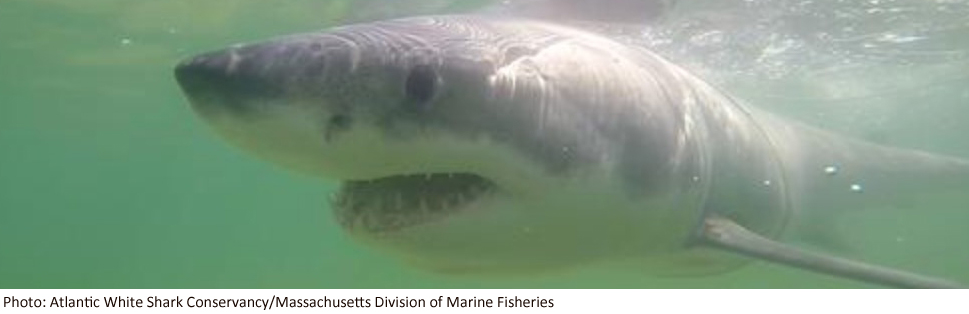 Sharks Off Cape Cod - capecodtimes com - Hyannis, MA